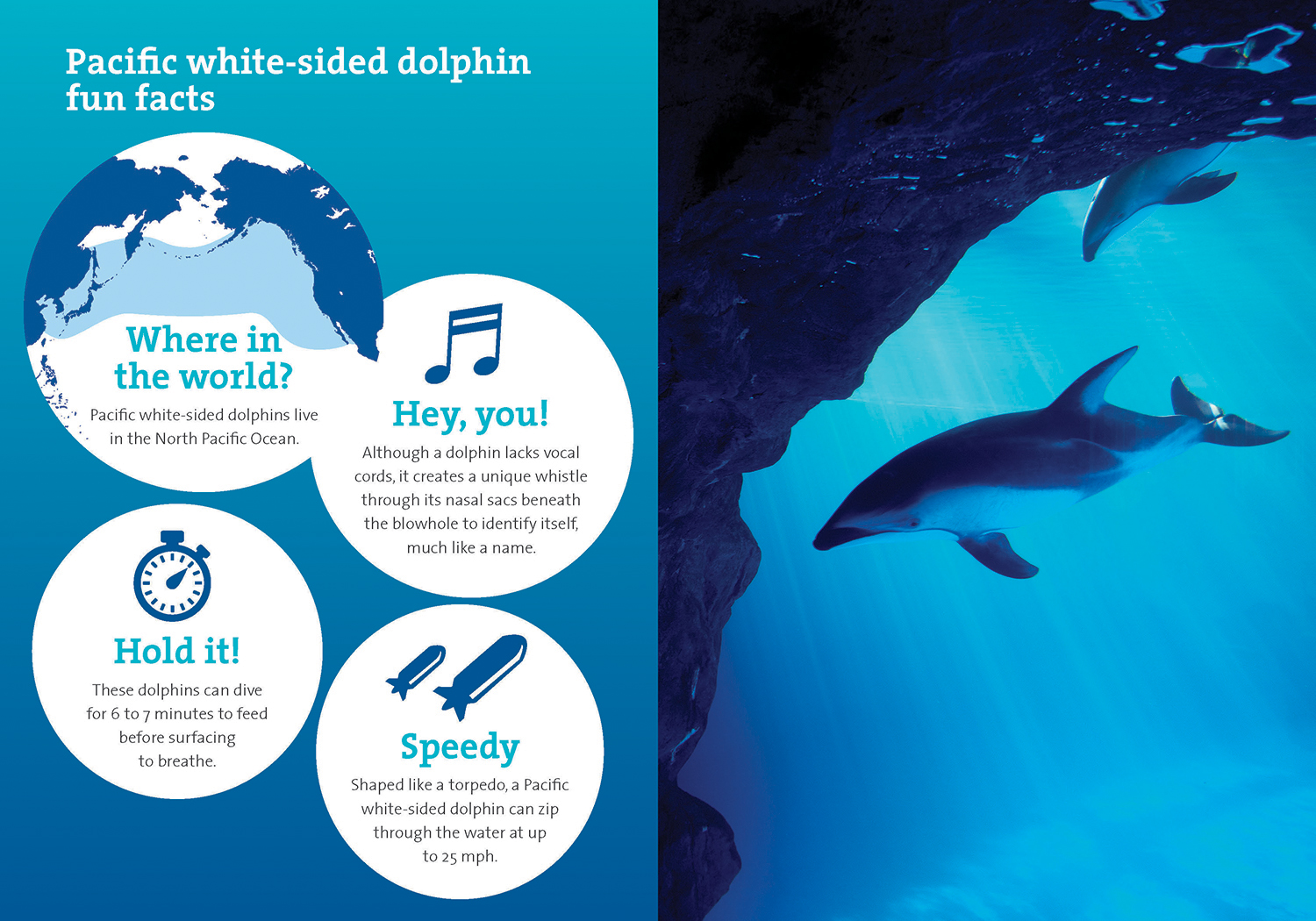 A two-page spread. White informational circles on the left side are labeled with a headline reading 'Fun Pacific white-sided dolphin facts'. Each circle has a descriptive or fun icon and each reads, 'where in the world?', 'Hey, you!', 'think positive', and 'Speedy'. On the right page is a photo of two dolphins swimming near some underwater rocks.
