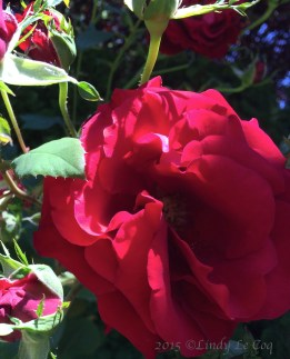 """Oh, My!"" Rose"
