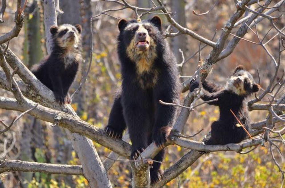 oso anteojos ecoturismo chingaza cundinamarca andes