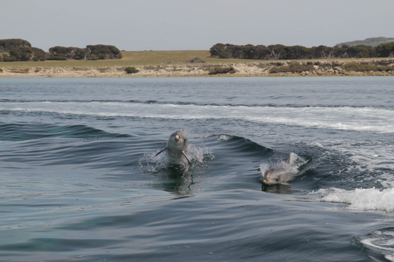 Dolphin encounter, Kangaroo Island