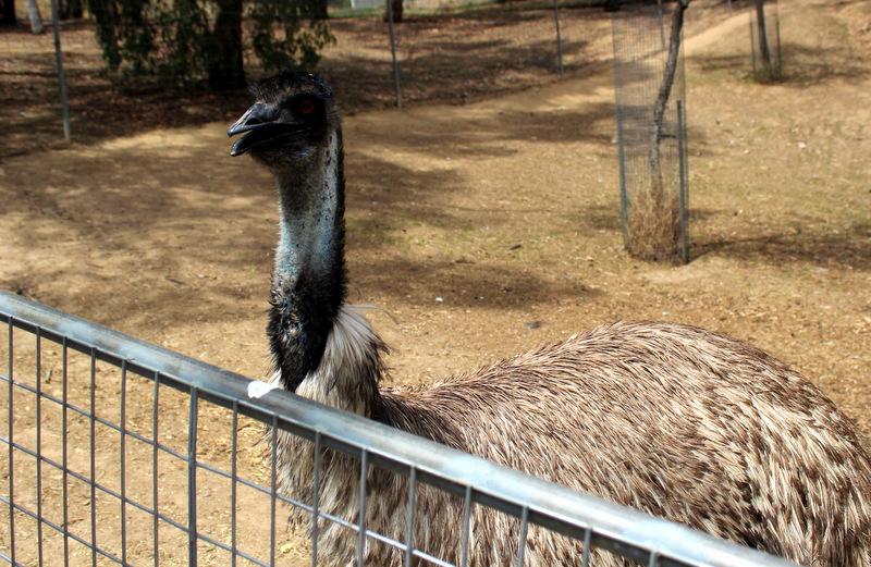 Emu at Gorge Wildlife Park