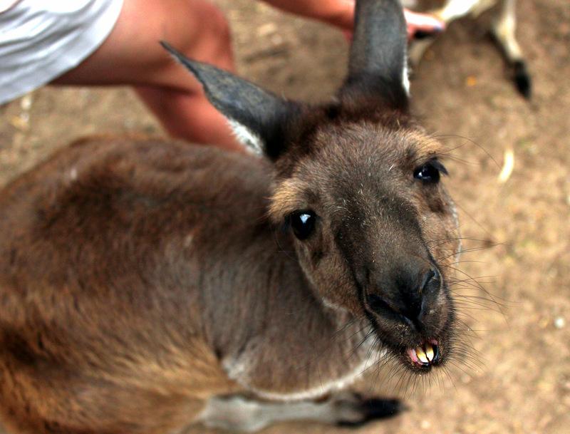 Close up of kangaroo