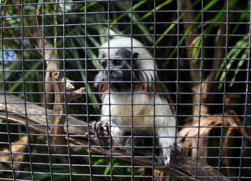 Marmoset monkey at Gorge Wildlife Park