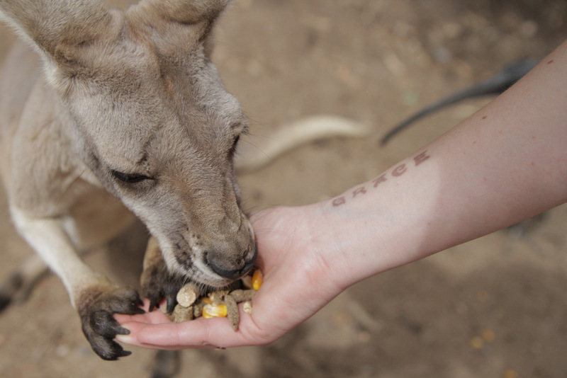 Red kangaroo feeding