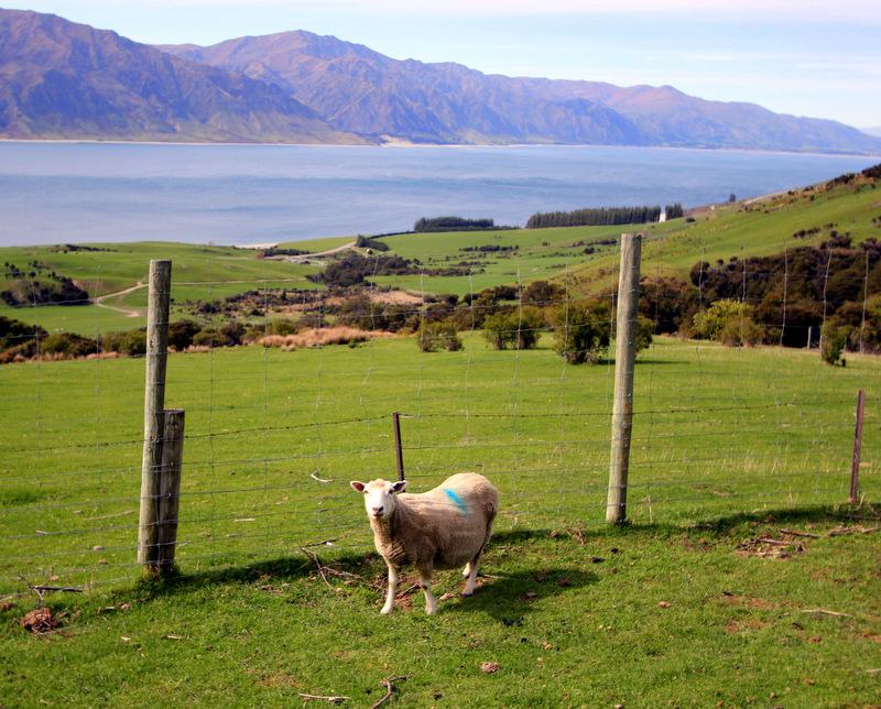 Sheep on Isthmus Peak