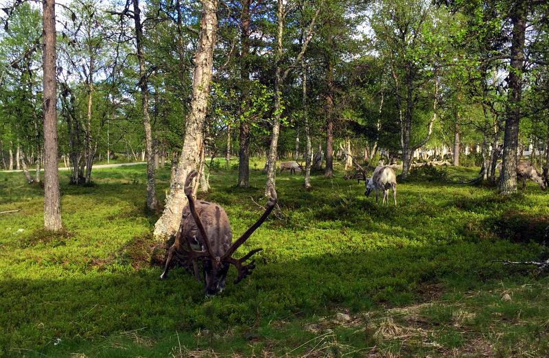 Lappish reindeer in forest