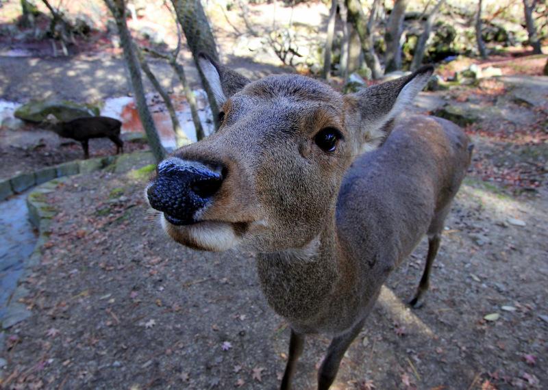 The deer of Nara