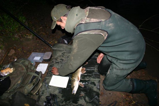 Last season was the first of the ground-breaking and all-important Severn Basin Predator Study. Here James Sarkar, a Sparsholt fishery management and aquaculture graduate, records a Severn jack pike for the survey.