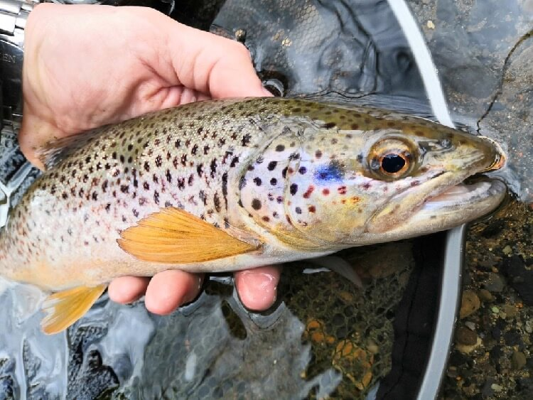 Trout fishing wales