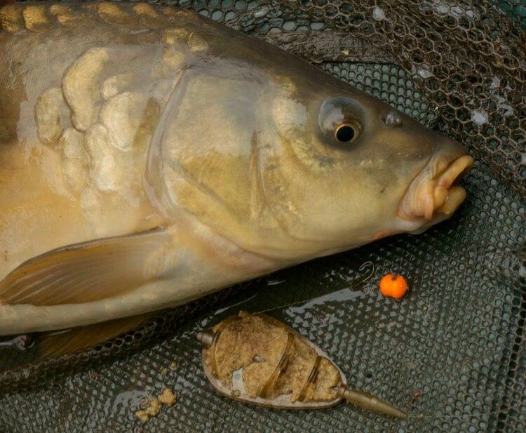 Method feeder carp match