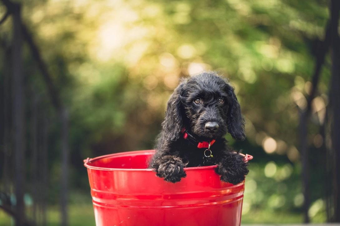 赤いバケツに入った可愛い犬