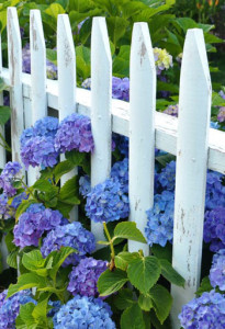 hydrangea-picket-fence