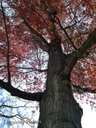 Up Through the Red Autumn Tree