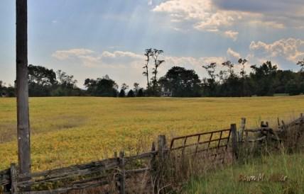 Yellow fields of Soy(w)# (1)