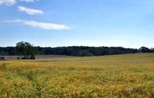 Yellow fields of Soy(w)# (2)