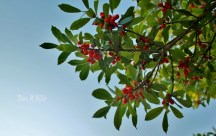 Christmas Holly in the Sky