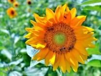 Detailed Sunflower