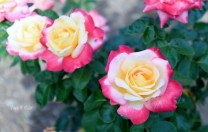 roses-from-msv