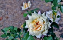 the-yellow-rose-of-msv