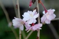 Spring Blossoms (2)