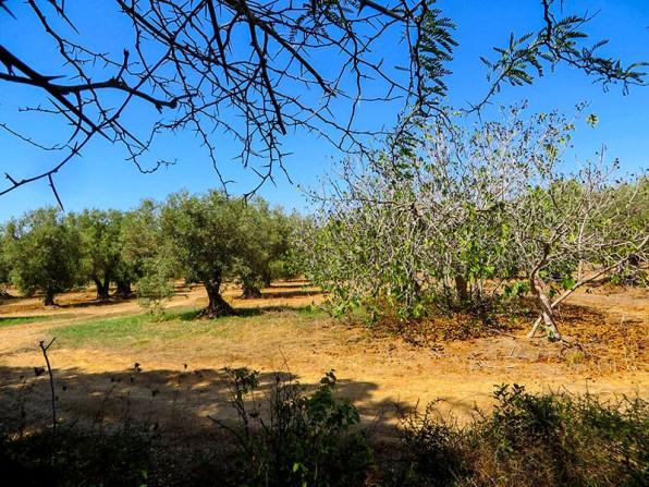 SP5 Olivenhain an der Straße
