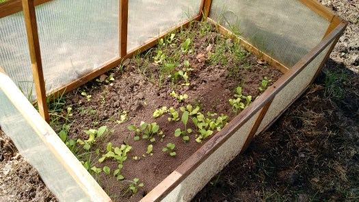 Spinach and lettuce in the cold frame.