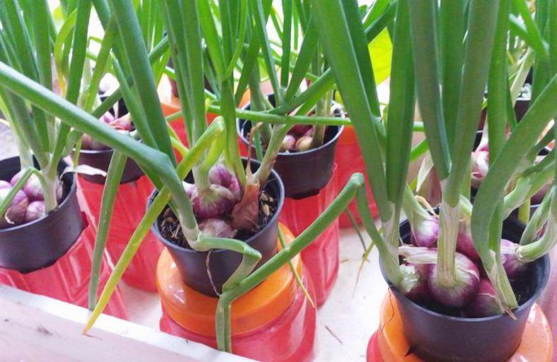 cara menanam bawang dalam pot