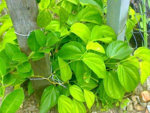 tanaman obat daun sirih