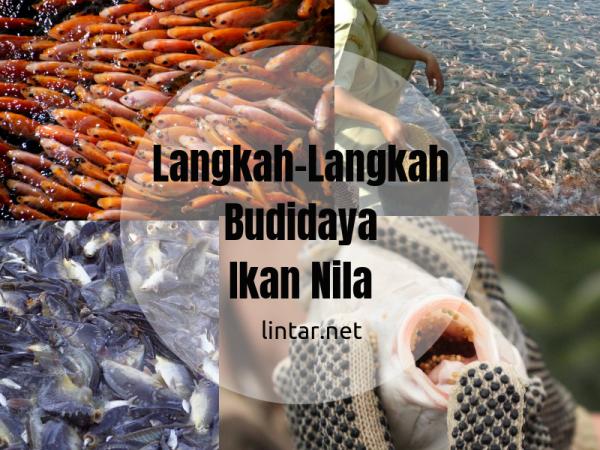 langkah langkah dalam membudidayakan ikan nila
