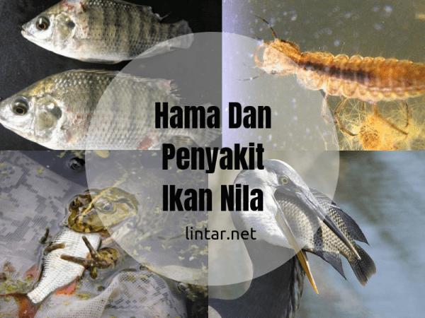 cara pemeliharaan ikan nila dari hama dan penyakit