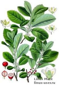 Происхождение названия рабочего стола Mate от растения для напитков
