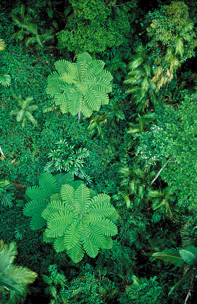 CSIRO_ScienceImage_3731_Tropical_rainforest_canopy_with_palms_and_ferns_near_Cairns_QLD