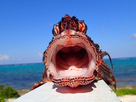 How Big Get Do Lionfish
