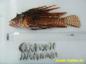 Lionfish Stomach Contents provided by Fadilah Ali