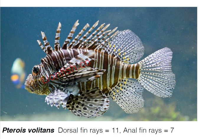 Pterois Volitans fin ray count