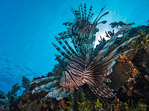 What eats lionfish?