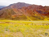 Death Valley In Bloom: 2005