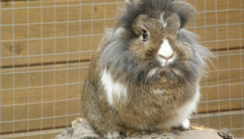 lionhead rabbit health