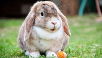 Mini Lop bunny
