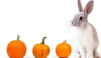 can rabbits eat pumpkin