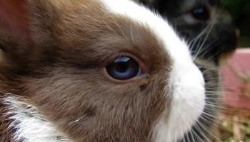 Netherland Dwarf rabbit for sale.