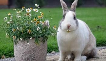 List of smallest rabbit breeds
