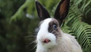 Rabbit Screaming, bunny screams