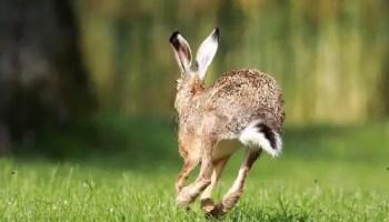 rabbit hop