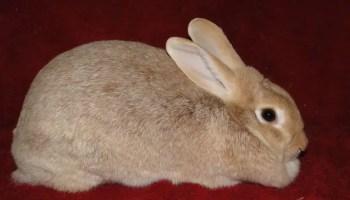 Creme d'Argent Rabbit