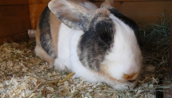 Signs of a depressed rabbit