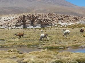 ever present lamas