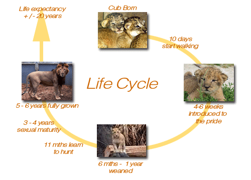 Life Cycle Lions And Other Wild Cats
