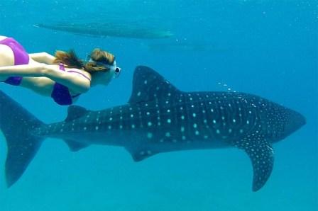 sharkswimming