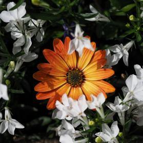 Ez itt a narancssárga virág.
